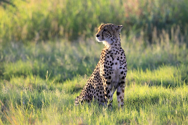 Selinda Cheetah in Afternoon Light - Photography by Evan Schiller