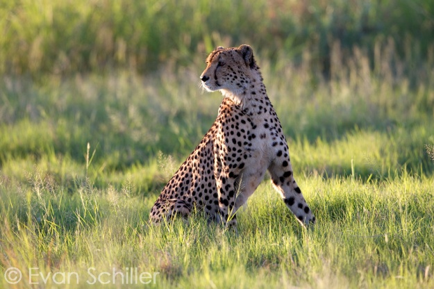 Selinda Cheetah - Photography by Evan Schiller