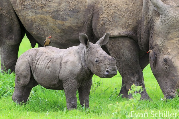 Baby Rhino & Mother - Photography by Evan Schiller