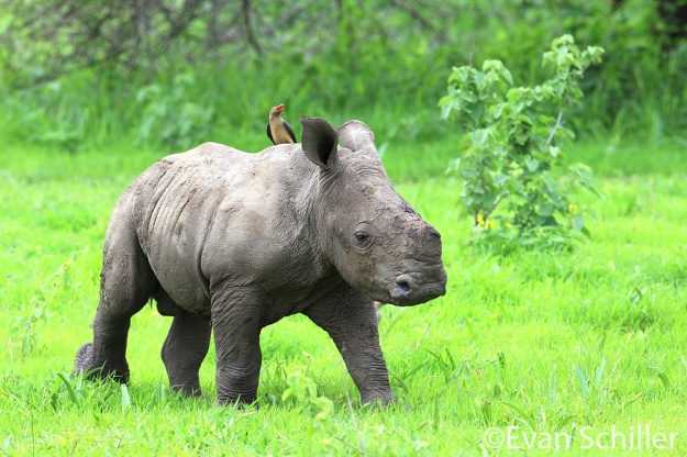 Baby Rhino & Oxpecker - Photography by Evan Schiller