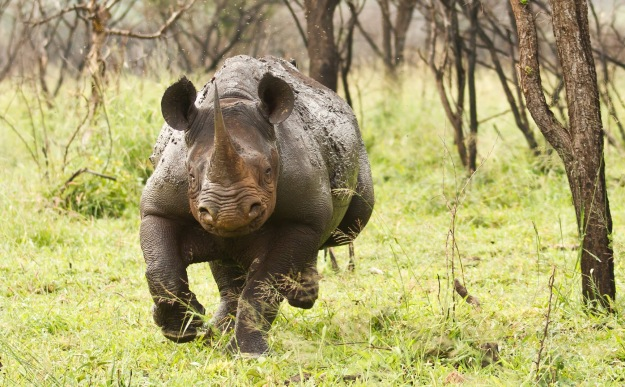 Charging Black Rhino - Dean Wraith Photography