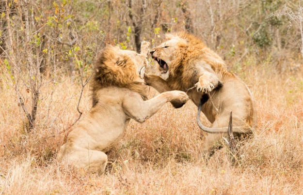 Mala Mala Lion Fight - Dean Wraith Photography